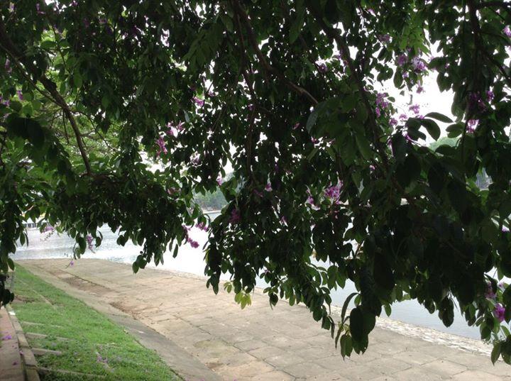Hoa rủ xuống bờ hồ Halle